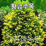 황금주목묘목 황금주목나무 조경수 황금주목 삽목2년