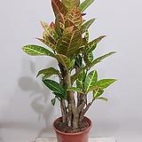 크로톤 (포트) 공기정화식물 축하식물 인테리어화분|Codiaeum Variegatum Blume Var Hookerianum