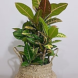 크로톤 + 라탄바구니 (세트) 개업선물 축하화분 인테리어식물 사무실식물|Codiaeum Variegatum Blume Var Hookerianum