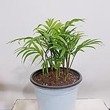 립스틱 야자 (포트) 인테리어식물 회사인테리어 축하선물 축하화분|Echeveria agavoides Lip Stick