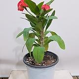 꽃기린 왕꽃기린 중품 (빨강) 인테리어화분|