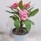 꽃기린 왕꽃기린 중품 (핑크) 인테리어화분