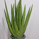손바닥 스투키 모주 (2족)  공기정화식물 카페인테리어 축하화분|Sansevieria Stuckyi