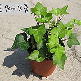 청아이비(Hedera helix_ ivy) 지름 9cm소품 실내공기정화(단독주문시 5000원이상주문가능)|Heder helix