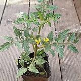 대추방울토마토 모종 (노랑)|