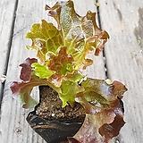 꽃상추 모종 .제일 흔하고 맛있는 상추|