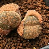 A22_ C218a julii ssp. julii \