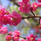 홍매화 설중매 품종♥멋진 외목수형♥맨뿌리/분달이 상품|Echeveria Multicalulis  Ginmei Tennyo
