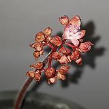분홍돌단풍 묵은주|