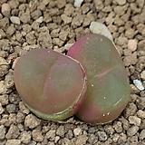 conophytum.마우가니 Latum|Conophytum maughanii