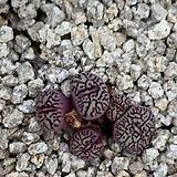 conophytum 위트버젠스 rr714|Conophytum Wittebergense