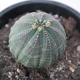 오베사|Baseball Plant (Euphorbia obesa)