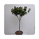 프랑스고무나무(외목대,대품)|Ficus elastica