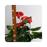 안시리움(대품)|Anthurium andraeaeanum