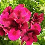 카나데   제라늄 .화려하고 큰꽃을 자랑 합니다,|Geranium/Pelargonium