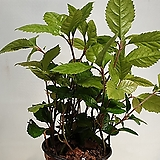 산호수.5대 공기정화식물|