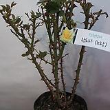 노랑장미(정원용)