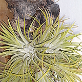 괴목 [ 틸란드시아 미세먼지먹는식물 ]|Tillandsia
