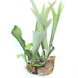 박쥐란 미세먼지정화식물 실내공기정화식물 행잉플랜트 행잉식물 