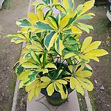 황금홍콩나무-미세먼지에탁월외목가지
