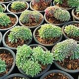블렛블루아나철화|Echeveria bradburiana