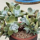 파키피덤(16두자연군생)뿌리좋아요|Dudleya pachyphytum