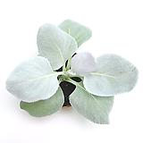세네시오 엔젤윙스 실내공기정화식물 관엽식물 실내화초 거실화분 