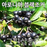 아로니아블랙초코베리묘목 블랙초코베리나무 블랙초코베리 실생2년 10주|
