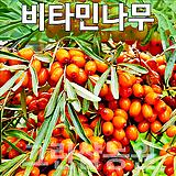 비타민묘목 비타민나무 비타민 삽목2년 4주(암나무3,숫나무1)|