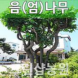 음나무묘목 특용수 음나무 특용수 실생 1년 10주|