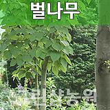 벌나무묘목 특용수 벌나무 실생1년 10주|