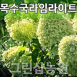 목수국라임라이트묘목 라임라이트나무 라임라이트 개화주 10주|Hydrangea macrophylla