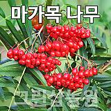 마가목묘목 마가목나무 꽃나무 마가목 실생2년 10주|