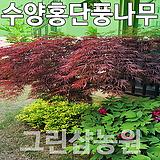 수양홍단풍묘목 수양홍단풍나무 수양홍단풍 접목1년 10주|