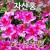 자산홍묘목 자산홍나무 자산홍 H0.3 5주|