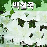 백철쭉묘목 백철쭉나무 백철쭉 H0.3 5주|