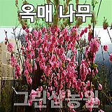 옥매묘목 옥매나무 꽃나무 옥매 접목1년 10주|