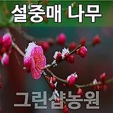 설중매묘목 설중매나무 꽃나무 설중매 접목1년 10주|