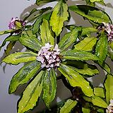 삼광중투무늬천리향(한정판매) 꽃향기도 좋고 잎장이 너무도 이쁜 중투무늬천리향이죠...|