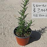 로즈마리 토피어리용외목대( topiary Rosemary) 지름 10cm소품화분 허브|Rosemary