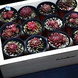 핑크루비|Sedeveria pink rubby
