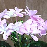 분홍수국 Hydrangea macrophylla