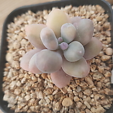 아메치스금ㄴ112|Graptopetalum amethystinum