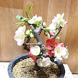 일월성(단품명자나무) 