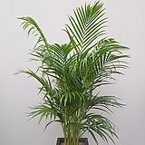 아레카야자 (사각완성분) 신혼집식물 카페인테리어 축하화분 공기정화식물|