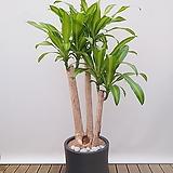 행운목 괴목 (고급폴리완성분) 대품 인테리어식물 공기정화식물|happy tree
