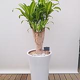 칼라행운목 (흰색 완성분) 신혼집인테리어 축하화분 사무실화분|happy tree