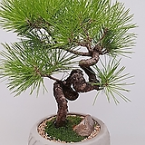 해송 (시멘트원형분) 축승진 선물식물 인테리어식물 축하선물|