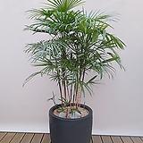 종려죽(고급폴리분) 카페인테리어 대형식물 축하선물 개업선물 아파트인테리어|