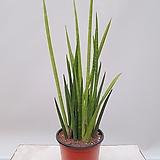 실스투키 공기정화식물 미세먼지화분|Sansevieria Stuckyi